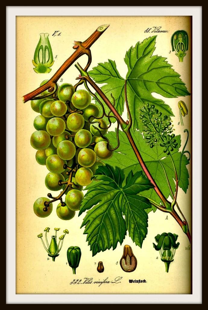 Vite Vitis vinifera cosmetica